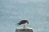 Sydney, Australia. Seagull perched on a wooden pile.