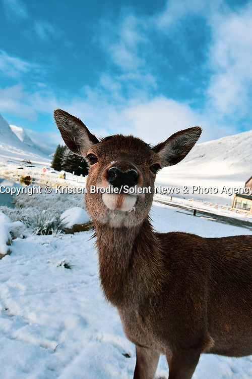 """Smile Deer!<br /> <br /> A roe deer appears to pause in the snowy landscape to smile for a photograph.<br /> <br /> The amusing image was captured in Glen Coe, Scotland by photographer Kristen Brodie, 22.<br /> <br /> Kristen said, """"I went up to Glen Coe for a hike, planning to do part of the West Highland Way, when I came across a pack of deer in the car park.  I got my camera out and this little one walked up to me, curious, and posed for the photo!""""<br /> <br /> """"It was very friendly and seemed to like the attention.""""<br /> <br /> Please byline: Kristen Brodie/Solent News<br /> <br /> © Kristen Brodie/Solent News & Photo Agency<br /> UK +44 (0) 2380 458800"""