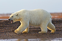 polar bear, Ursus maritimus, walking along the shore, Barter Island, Arctic National Wildlife Refuge, Alaska, Arctic Ocean, polar bear, Ursus maritimus