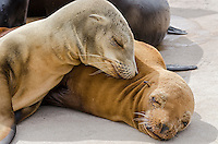 Young California sea lion (Zalophus californianus) pups sleeping on boat dock.  Central California Coast.