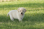 Yellow Labrador retriever (AKC) puppy walking in the grass