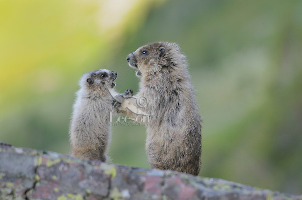 Hoary Marmot (Marmota caligata) adult interacts with young pup, Glacier National Park, Montana.  Summer.
