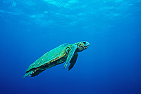 Loggerhead Sea Turtle, Caretta caretta, New Caledonia, South Pacific Ocean