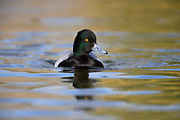 Lesser Scaup (Aythya affinis), male swimming in Papago Ponds, Papago Park, Phoenix, Arizona.