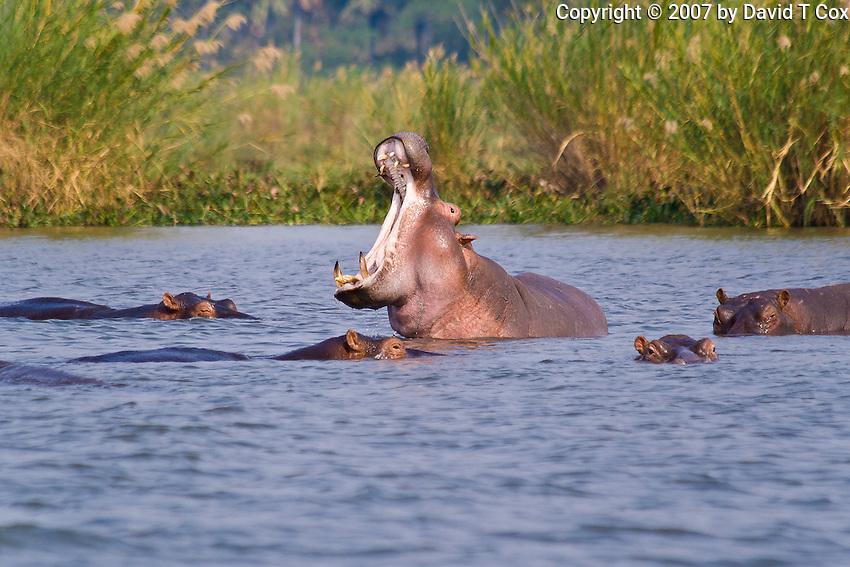 Hippo gaping, Shire River, Liwonde NP, Malawi