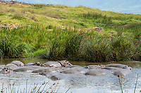 Hippopotamuses, Hippopotamus amphibius, crowd together in a pond in Ngorongoro Crater, Ngorongoro Conservation Area, Tanzania