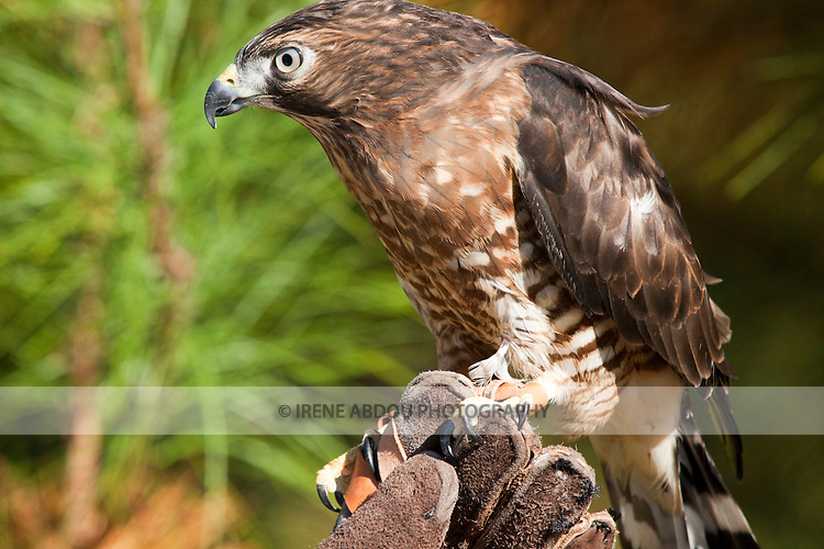 This broad-winged hawk at the Pocomoke River State Park in Maryland is under the care of the National Park Service.