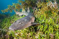 blind shark, Brachaelurus waddi. a juvenile. Green Island, South West Rocks, New South Wales, Australia, Pacific Ocean