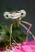 Gemeine Federlibelle, Blaue Federlibelle, Portrait, Porträt, Augen, Facettenauge, Platycnemis pennipes, white-legged damselfly