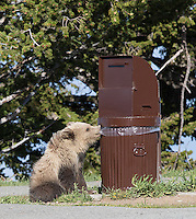 A young grizzly bear gnaws on a plastic garbage bag.  Thankfully, it was not appetizing.
