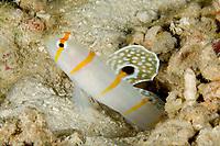 Sailfin shrimpgoby, Amblyeleotris randalli, Divers Heaven Reef, Beach, Panglao Island, South Bohol, Central Visayas, Philippines, Pacific Ocean