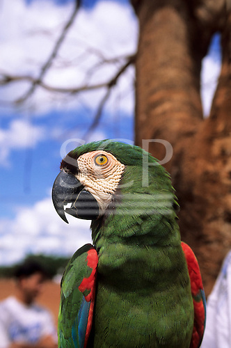 Amazon, Brazil. Green and red parrot.