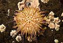 Green sea urchin {Psammechinus miliaris} in rockpool. Isle of Mull, Scotland. June.