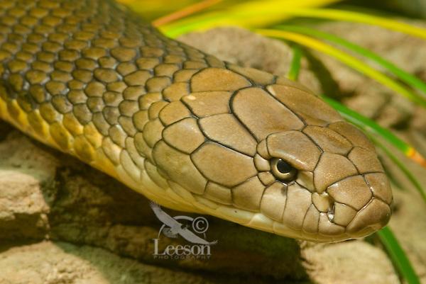 King Cobra (Ophiophagus hannah).(Woodland Park Zoo, Seattle WA)