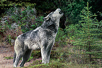Mammals: wolves and coyotes