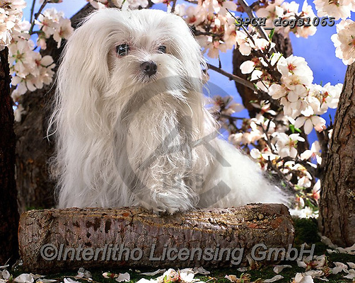 Xavier, ANIMALS, REALISTISCHE TIERE, ANIMALES REALISTICOS, dogs, photos+++++,SPCHDOGS1065,#a#, EVERYDAY