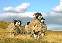 Swaledale ewes, Saddle End, Chipping, Lancashire.
