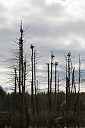 The silhouette of nesting blue herons at Danville, New Hampshire Town Forest during the spring months.