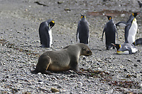 Antarctic fur seal,Arctocephalus gazella, walking towards King Penguins, Aptenodytes patagonicus, on beach at Grytviken whaling station, South Georgia, Southern Ocean, Antarctica