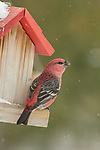 Male pine grosbeak perched on a backyard bird feeder in northern Wisconsin.