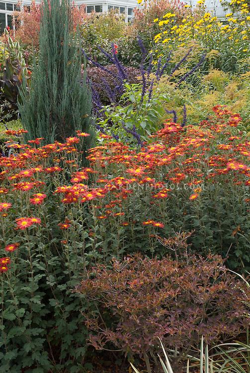 Autumn border, Chrysanthemum Sienna, NYBG. Juniperus Blue Arrow, Chrysanthemum NYBG Series Sienna (Korean)
