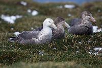 Southern Giant Petrels on Heard Island, Antarctica