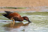 A male Cinnamon Teal, Anas cyanoptera, feeds in shallow water in the Riparian Preserve at Water Ranch, Gilbert, Arizona