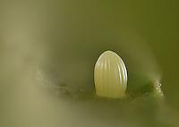 Monarch (Danaus plexippus), Hill Country, Texas, USA