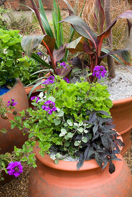 Container garden with Canna, Helichrysum petiolare licorice plant, Ipomoea Blackie, scented geraniums Pelargonium, trailing and upright plants, most foliage types with Verbena flowers in terracotta pots
