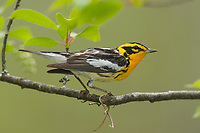 Adult male Blackburnia Warbler (Dendroica fusca) in breeding plumage. Tompkins County, New York. May.