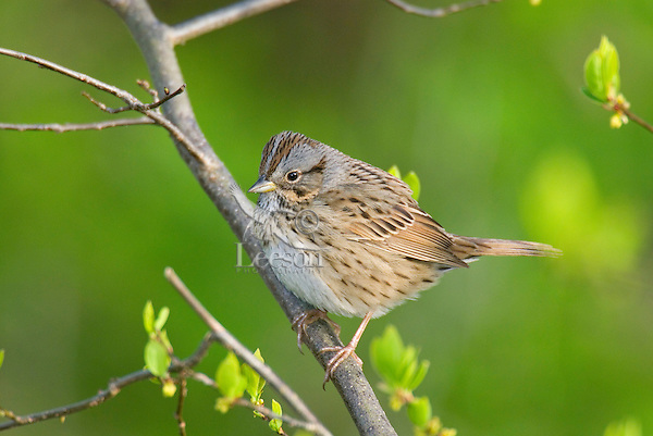 Lincoln's Sparrow (Melospiza lincolnii) might also be a song sparrow.