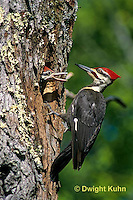 1P06-004z  Pileated Woodpecker - feeding young - Dryocopus pileatus or Hylatomus pileatus