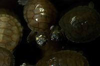 A DEMA - delegacia especializada em meio ambiente do estado apreendeu nesta segunda feira 22/01  o nº de  1798 filhotes de tartaruga da amazônia(Podcnemis expansa) dos quais cerca de 200 estavam mortas. a Apreensão feita pelo delegado Marcos Lemos, 38,  no  bairro do Guamá onde foram presas 3 pessoas. As tartarugas conforme o delegado são originárias do município de Senador José Porfírio no oeste do estado do Pará.  As tartarugas serão entregues ao Ibama que as destinará aos criadores conservacionistas registrados pelo Ibama.01/2007   Belém, Pará, Brasil.            Foto Paulo Santos/Interfoto