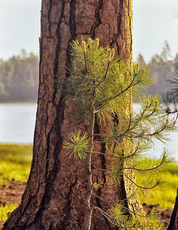 Old and young ponderosa pine (pinus ponderosa). Near Burns, Oregon.