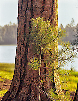 Old and young ponderosa pine (pinus ponderosa). Near Burns, Oregon.