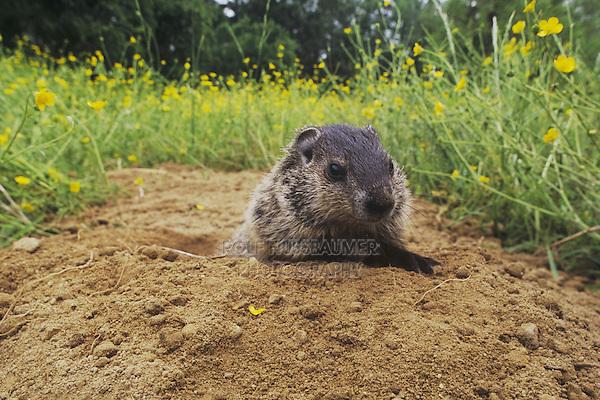 Groundhog, Woodchuck (Marmota monax), young looking out of burrow, Raleigh, Wake County, North Carolina, USA