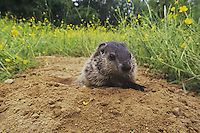 Groundhog, Woodchuck (Marmota monax), young looking out of burrow, Raleigh, Wake County, North Carolina, USA
