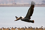 Pelican, Bolsa Chica State Beach.