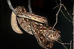 Dumeril's Ground Boa (Acrantophis dumerili) active at night. Ifaty spiny forest, south west Madagascar
