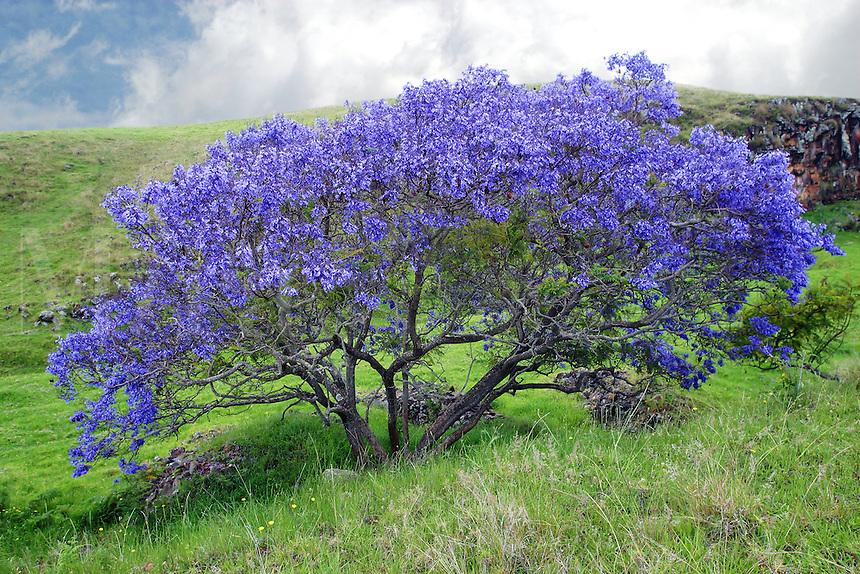 Jacaranda tree is in full bloom in the slopes of Haleakala. Maui, Hawaii.