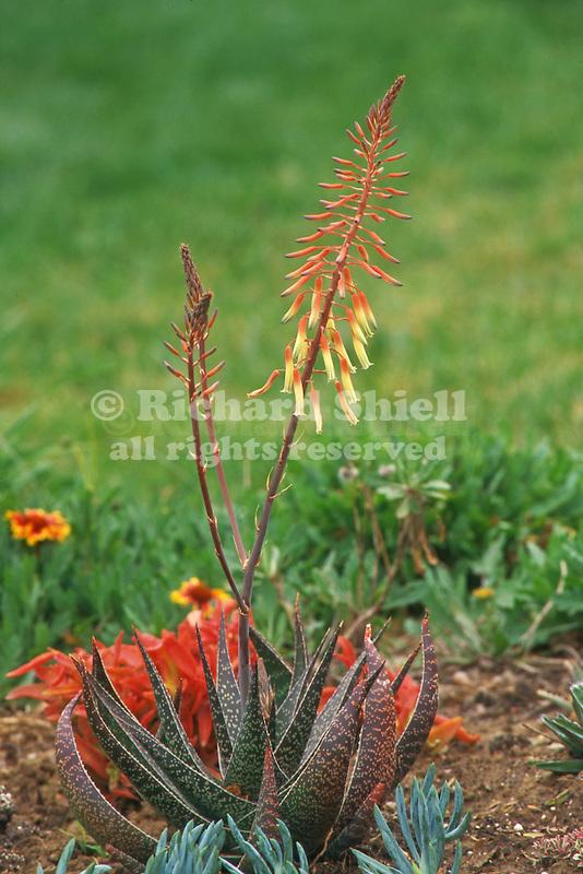 11772-BG Dwarf Aloe, Aloe hybrid (unidentified) succulent flowering in March, at Camarillo, CA USA