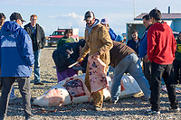 Inupiaq subsistence whalers butcher a beluga whale (Delphinapterus leucas) catch, which will be shared amongst the community, Kaktovik, Barter Island, arctic coast of Alaska