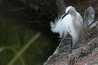 A Snowy egret with delicate plummage on display while  gathering nesting materials along an urban waterway below its nesting site.