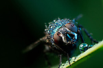 Pictured:   A blue bottle fly.  Incredible close-up photos show insects covered in perfectly formed dew drops.<br /> <br /> The macro shots include a wasp, a root weevil, a blue bottle fly, a dragonfly and snipe and yellow dung flies resting on leaves in the early morning dew.<br /> <br /> Calvin Lee, who works as a wedding photographer, took the photos after seeking out the insects shortly after dawn at Messingham Sand Quarry in North Lincolnshire.  SEE OUR COPY FOR FULL DETAILS.<br /> <br /> <br /> Please byline: Calvin Lee/Solent News<br /> <br /> © Calvin Lee/Solent News & Photo Agency<br /> UK +44 (0) 2380 458800