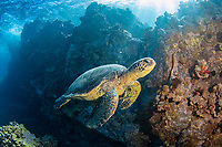 a trumpetfish, Aulostomus chinensis, is traveling over the reef with a green sea turtle, Chelonia mydas, to ambush a prey,  Maui, Hawaii, USA, Pacific Ocean