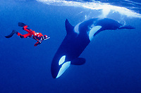 cold-water freediver and orca, Orcinus orca, Norway