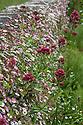 Erigeron karvinskianus and Red valerian (Centranthus ruber), Great Dixter, early June.