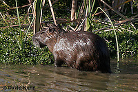 0715-0802  Nutria (syn. Coypu), Myocastor coypus © David Kuhn/Dwight Kuhn Photography
