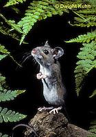 MU14-042z   Deer Mouse - Peromyscus maniculatus