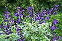 Salvia 'Amistad', late June.